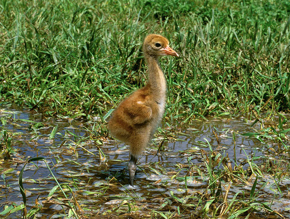 Whooping crane chick. Image Credit: International Crane Foundation.