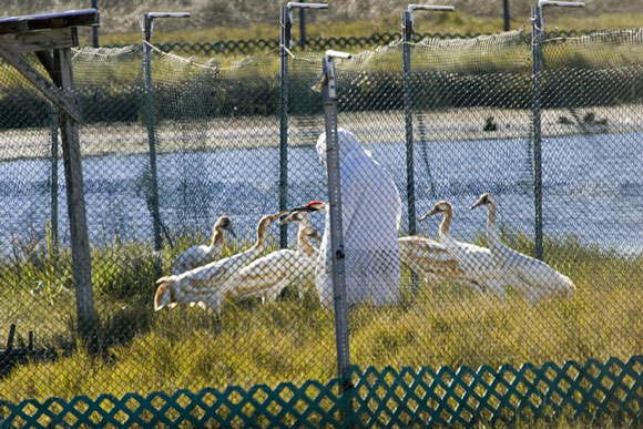 Person in costume feeding juvenile cranes. Image Credit: Steve Hillebrand, USFWS.