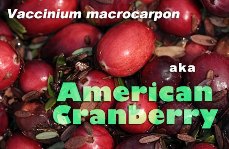 Closeup of some raw cranberries labeled Vaccinium macrocarpon.