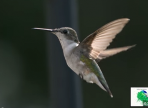 aerodynamics of hummingbird flight Now scientists have attempted to model exactly how hummingbird wings  of the week: hummingbird wing aerodynamics  affect the bird's flight.