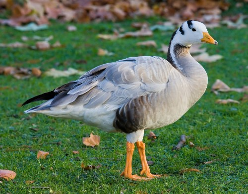 A Bar-headed Goose in St James's Park, London, England.  Photo by DAVID ILIFF. License: CC-BY-SA 3.0 via Wikipedia.
