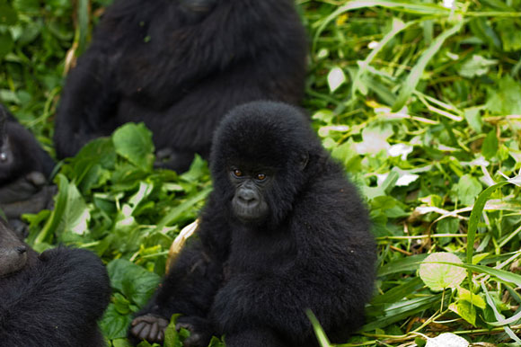 Baby mountain gorilla in Africa's Virunga National Park, where poaching is an acute problem. Image Credit: Cai Tjeenk Willink.