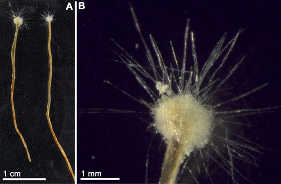 Amoeboid protist. Image Credit: Maldonado et al. (2013) Zootaxa 3669:571.
