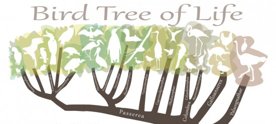 Bird tree of life, by Julie McMahon, U. Illinois.  Click here to view a larger, interactive version of this graphic.