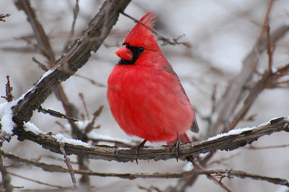 A male northern cardinal. Image Credit: kansasphoto via Flickr.