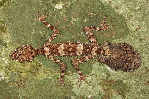 Leaf-tailed gecko. Image Credit: Conrad Hoskin.