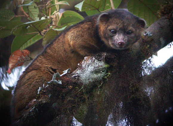 Olinguito. Image Credit: Mark Gurney.
