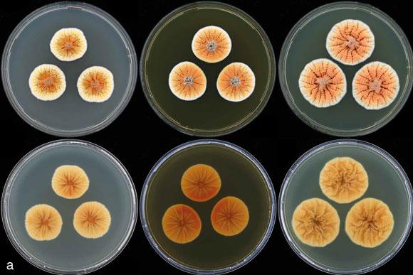 Orange penicillium. Image Credit: Visagie et al. (2013) Persoonia 31:42.