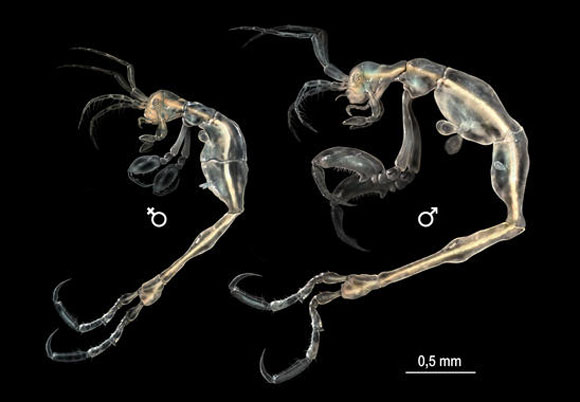 Skeleton shrimp. Image appears courtesy of SINC.