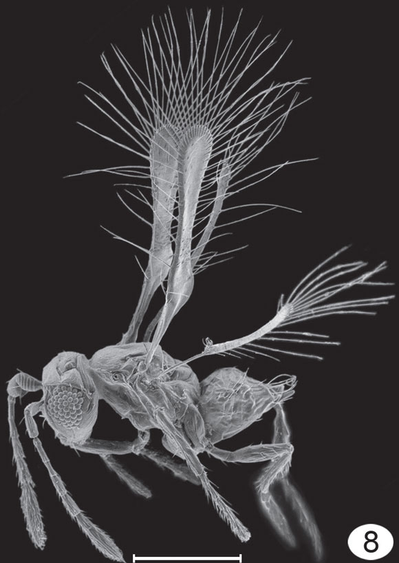 Tinkerbell fairyfly. Image Credit: Huber and Noyes (2013) Journal of Hymenoptera Research 32:17.