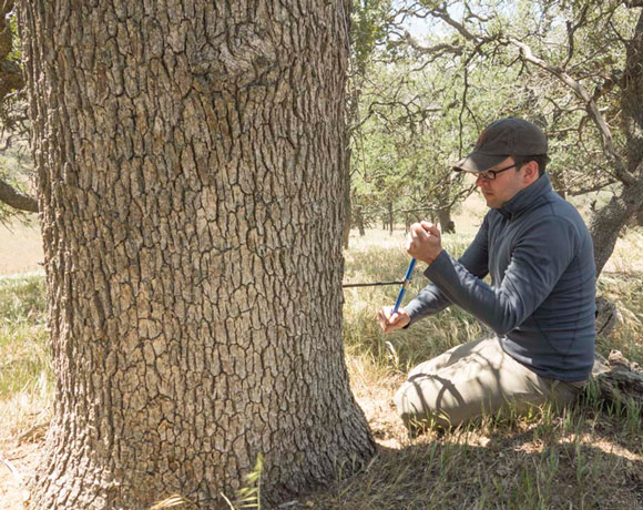 Kevin Anchukaitis collecting a tree ring sample from a blue oak in California. Image Credit: Dan Griffin.