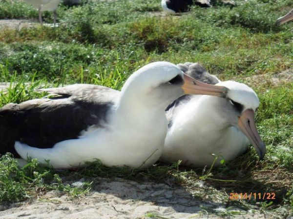 63-year-old albatross Wisdom (l) and mate at Midway Atoll.  Posted on Facebook by USFWS National Wildlife Refuge System