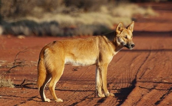 New evidence suggests dogs arrived in the Americas only about 10,000 years ago. Some believe the ancient dogs looked a lot like present-day dingos. Image credit: Angus McNab