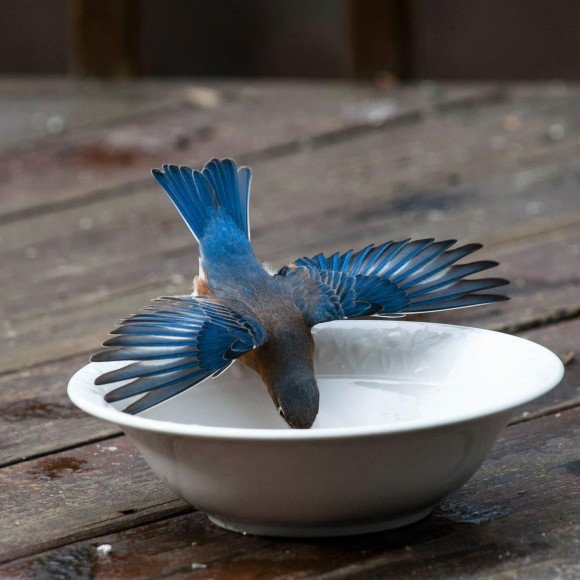 A bluebird takes a drink