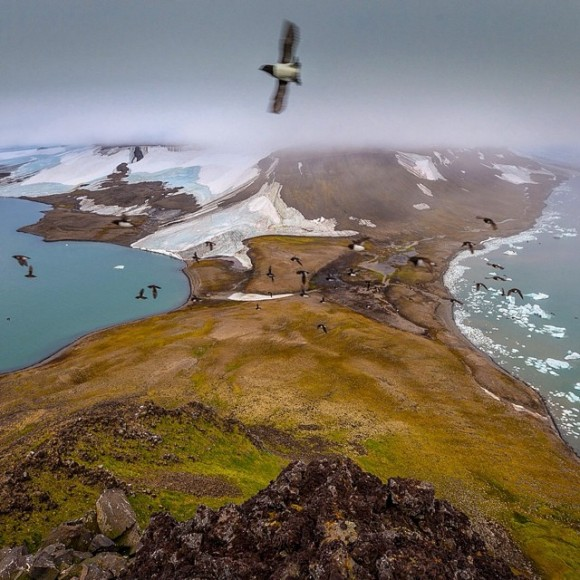 Little auks in Franz-Josef Land. Photo: © Cory Richards
