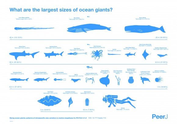The project analyzed sizes for storied sea creatures like whales and sharks and for lesser-known giants like tube worms. View larger. | Image credit: Matthew Maxwell and Pablo Alvarez Vinagre at StudioAM