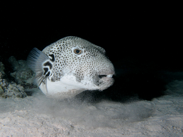 Don't worry, puffer, I think those teeth give you character. Image: Alexander Vasenin.
