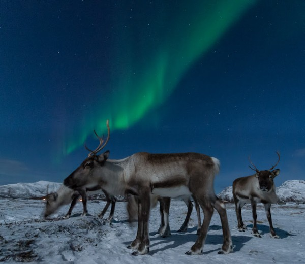 January 3, 2015 aurora and reindeer by Harald Albrigtsen.