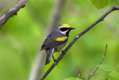 This male golden-winged warbler is carrying a geolocator on its back (appears black with white light sensor) and identification bands on its legs. Photo credit: Gunnar Kramer
