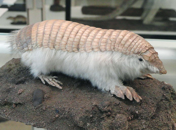 The pink fairy armadillo seen in its aboveground taxidermied form. Image: Daderot.
