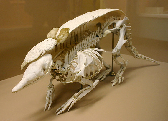 Anatomy of an armadillo. Image: Ryan Somma.