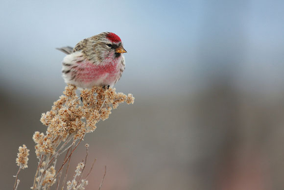 Common redpoll. Image Credit: Seabamirum via Flickr.