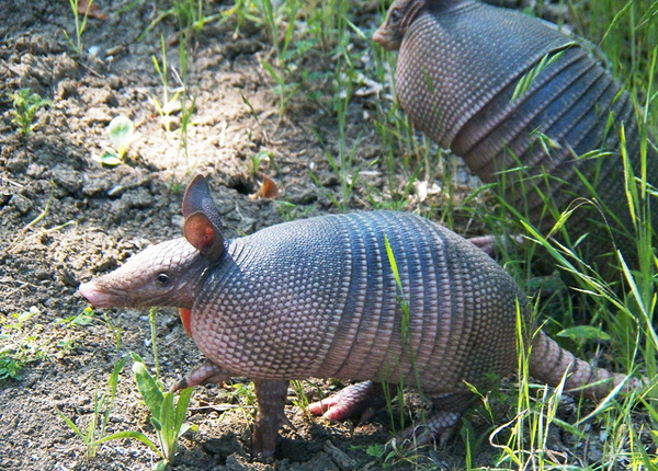 The nine-banded armadillo; one of the many official state mammals of Texas. Image: Robert Nunnally.