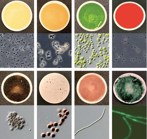 Eight of the 137 microorganism samples used to measure biosignatures for the catalog. In each panel, the top is a regular photograph of the sample and the bottom is a micrograph, a 400x zoomed-in version of the top image. The scientists were aiming to achieve diversity in color and pigmentation. Top left to bottom right: Unknown species of genus bacillus (Sonoran desert, AZ, USA); unkown species of genus Arthrobacter (Atacama desert, Chile); Chlorella protothecoides (sap of a wounded white poplar); unknown species of genus Ectothiorhodospira (Big Soda Lake, NV, USA); unknown species of genus Anabaena (with green fluorescent protein; stagnant freshwater); unknown species of genus Phormidium (Kamori Channel, Palau); Porphyridium purpureum (old woodwork at salt spring, Boone's Lick State Park, MO, USA);  Dermocarpa violacea (aquarium outflow, La Jolla, CA, USA). Image via Hegde et al. / MPIA
