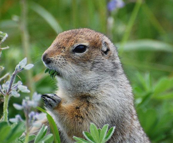 Arctic ground squirrel. Image Credit: Kristine Sowl, U.S. Fish and Wildlife Service.