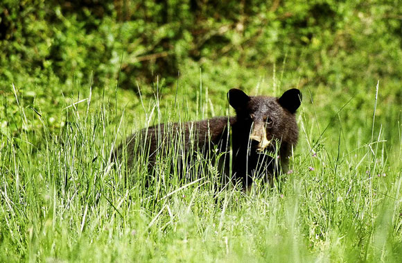 Black bear. Image Credit: U.S. Fish and Wildlife Service.