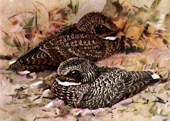 Watercolor painting of the common poorwill by Louise Agassiz Fuertes. Image Credit: Wikimedia Commons.
