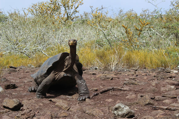 Galapagos tortoise on the island of Pinzon. Image appears courtesy of James Gibbs.