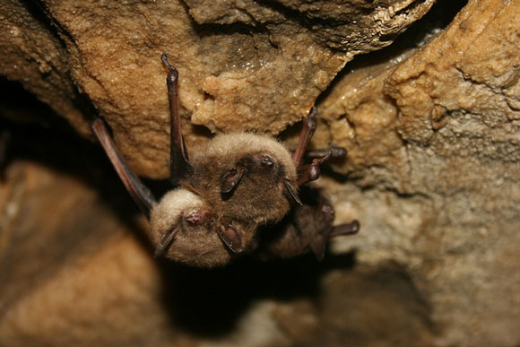 Little brown bat. Image Credit: Ann Froschauer, U.S. Fish and Wildlife Service.