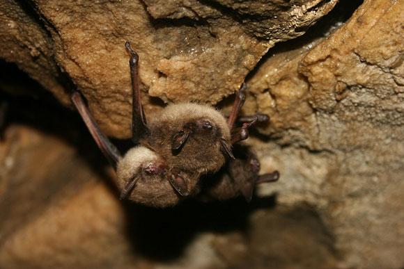 Little brown bat. Image Credit: Ann Froschauer, U.S. Fish and Wildlife Service.