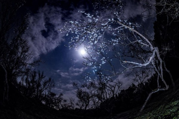 The little white dot near the moon here is Jupiter.  He titled it A Moonlit Night of Plum Blossoms.  Photo by Masaaki Shibuya.