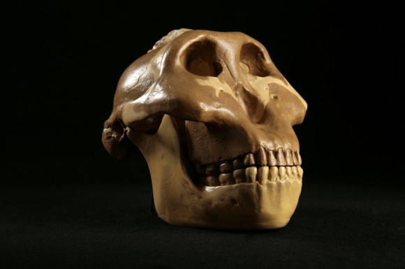 A skull of so-called 'Nutcracker Man' – hungry for anything. Image credit: North Carolina School of Science and Mathematics