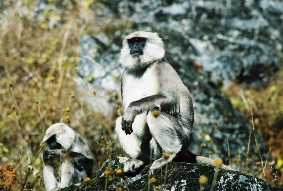 Himalayan gray langurs in early fall when the living is comparatively easy and there's no need to fall back on 'nonprofitable' foods. Photo credit: Ken Sayers