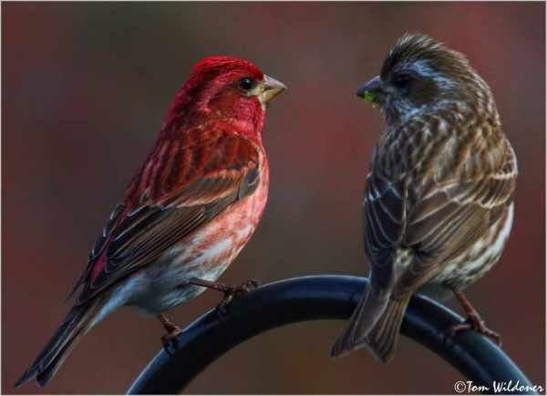 Purple Finches at a bird feeder in Weatherly, Pennsylvania, April 22, 2015.  Photo by Tom Wildoner.