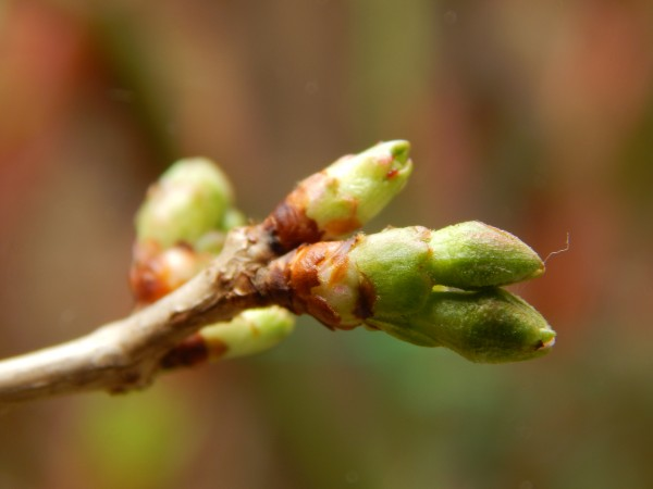 Spring bud, 2015, from our friend Daniela Claudia G in Burcharest.