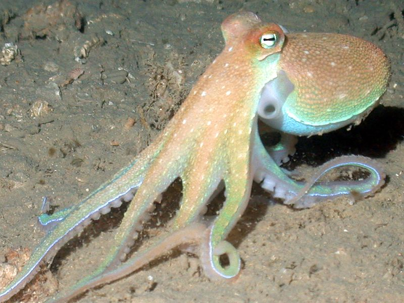 An octopus senses light with its skin