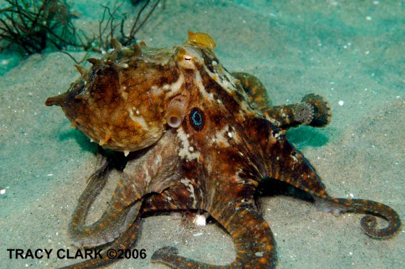 These researchers conducted their studies on skin samples from California two-spot octopuses.  Read more about them from Monterey Bay Aquarium.  This image of a two-spot octopus is from Tracy Clark.