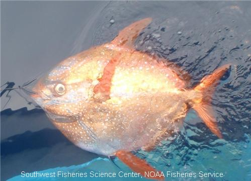 This opah, also known as the moonfish, was caught and released on a longline set off of the Channel Islands near California.  Image via NOAA FishWatch.