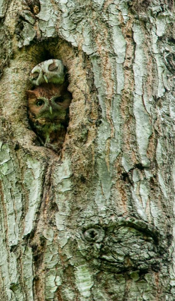 Janet Furlong in Culpeper, Virginia captured this image of two screech owls on May 15, 2015.