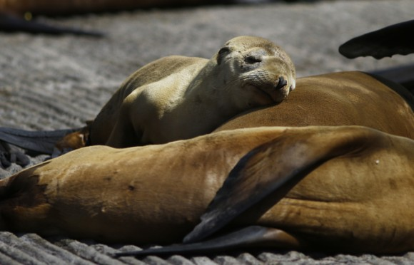 A pup lies with older sea lions at the Coast Guard Pier in Monterey, California March 17, 2015. Animal rescue centers in California are being inundated with stranded, starving sea lion pups, raising the possibility that the facilities could soon be overwhelmed, the federal agency coordinating the rescue said.  Photo credit: Reuters/Michael Fiala