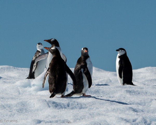 Penguins on South Georgia Island by Kjell Rune Venaas.