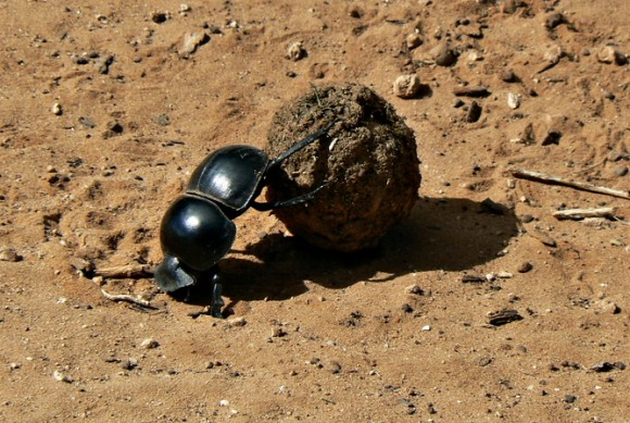 Dung beetles cleaned up after the dinosaurs. Image credit: Kay-africa/Wikimedia Commons