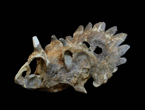 The skull of a new horned dinosaur that scientists named Regaliceratops peterhewsi - aka