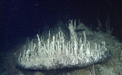 The beautiful hydrothermal chimneys in the Pescadero Basin are composed of light colored carbonate minerals. Chimneys in most other deep-sea areas are composed of dark-colored sulfide minerals. Image credit: © 2015 MBARI