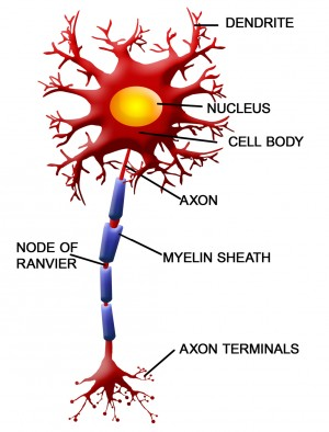 Nerve signals jump between the exposed areas between myelin sheathes. Image credit: Neuron image via www.shutterstock.com