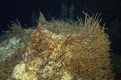 Many of the hydrothermal chimneys in the Pescadero Basin were covered with dense colonies of Oasisia tubeworms, which are rare elsewhere in the Gulf of California. Image credit: © 2015 MBARI